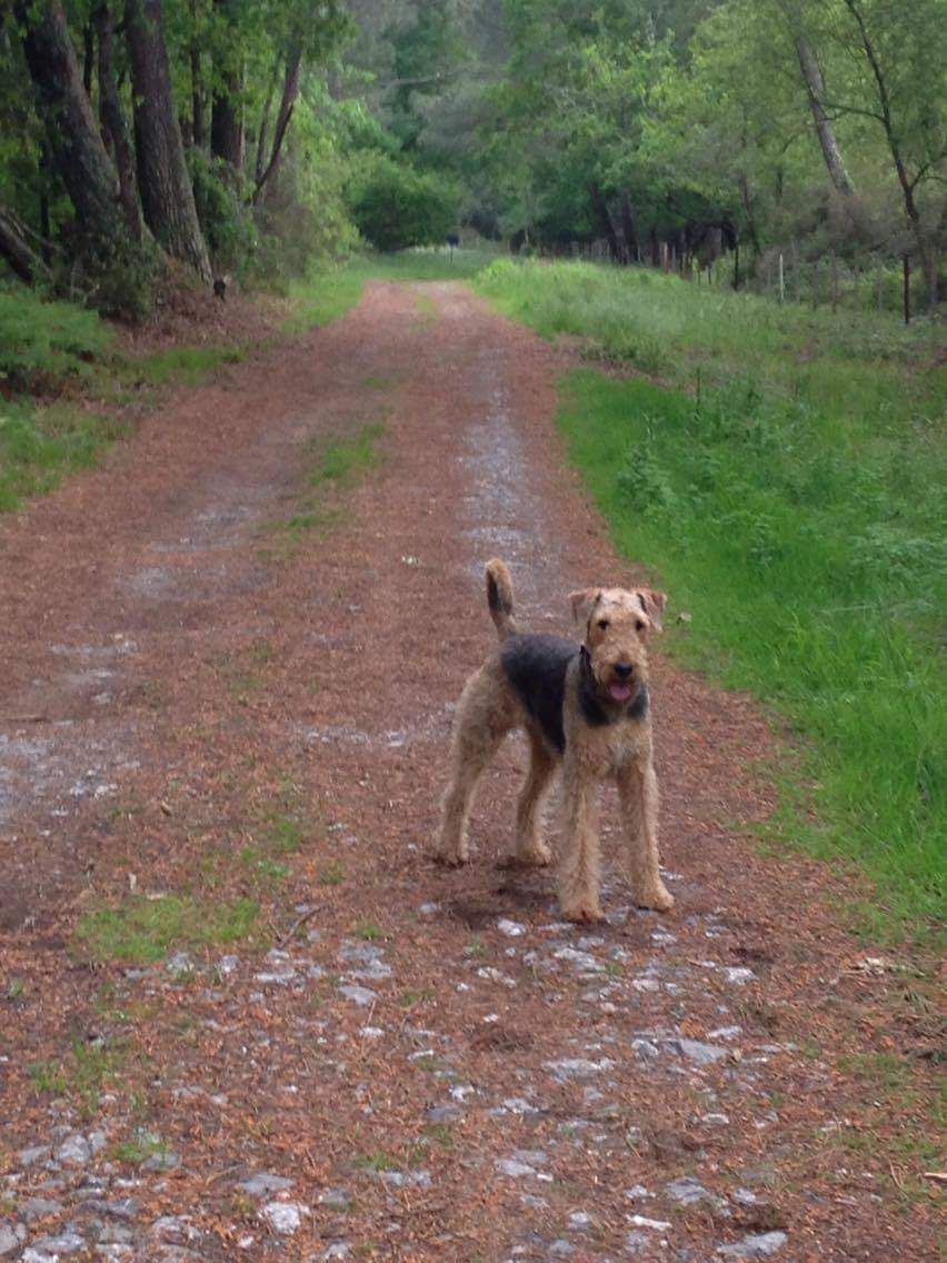 Airedale Terrier A Adopter A Gastes